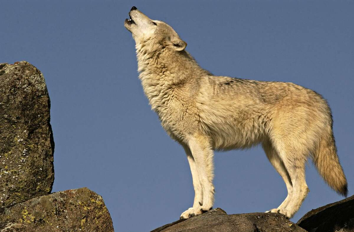 Gray wolf (Canis Lupus) also known as the Timber wolf. Standing on rock, howling.