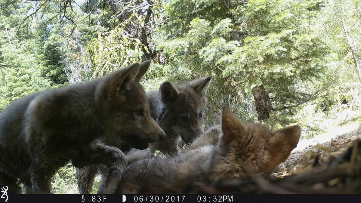 This June 30, 2017, remote camera image released by the U.S. Forest Service shows a female gray wolf and her mate with a pup born this year in the wilds of Lassen National Forest in Northern California. California wildlife officials said Wednesday, July 5, the female gray wolf and her mate have produced this one and at least two other pups this year in the wilds of Lassen County.