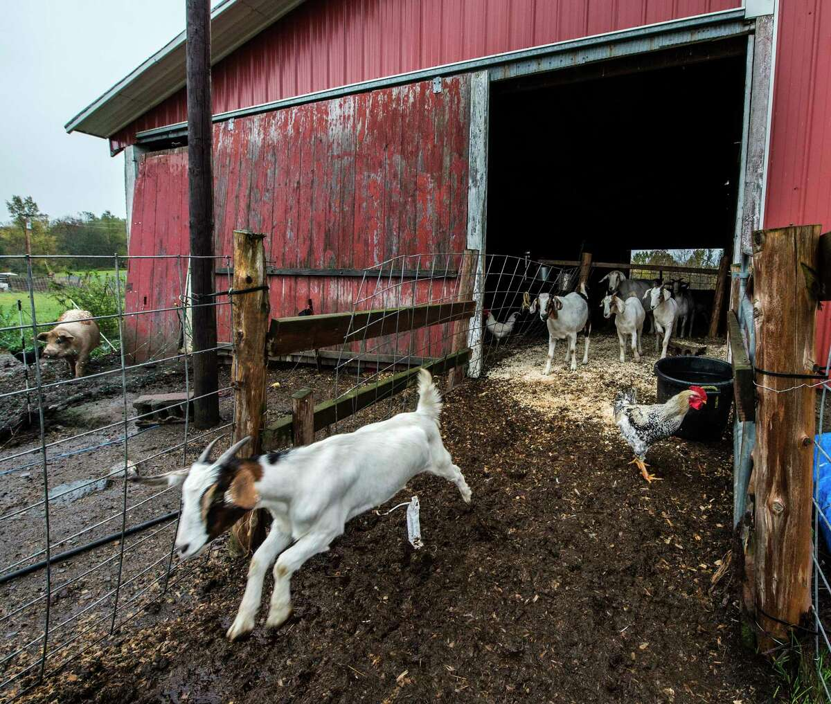 Farm animals enjoy their day at the R'Eison Shine Farm Monday Oct. 9, 2017 in Schagticoke, N.Y. (Skip Dickstein/Times Union)