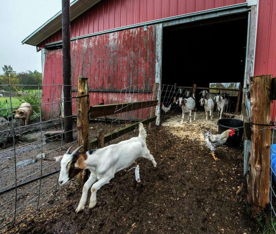 Farm animals enjoy their day at the R'Eison Shine Farm Monday Oct. 9, 2017 in Schagticoke, N.Y. (Skip Dickstein/Times Union) Photo: SKIP DICKSTEIN / 20041792A