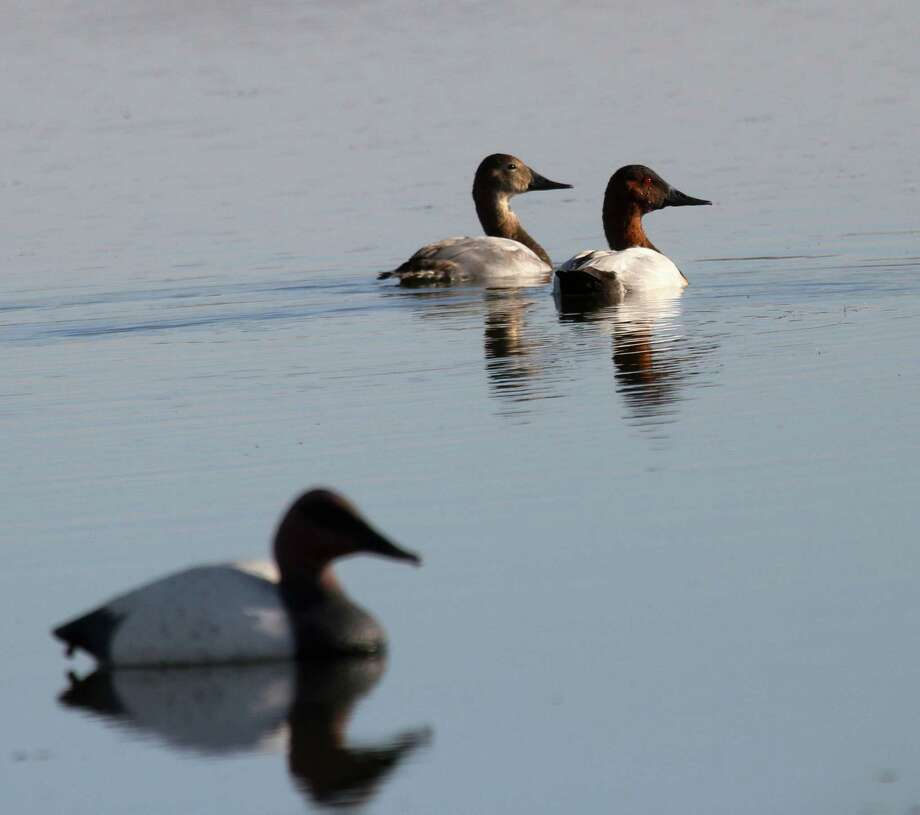 North America's canvasback population is holding 25 percent above the species' long-term average. Photo: Shannon Tompkins