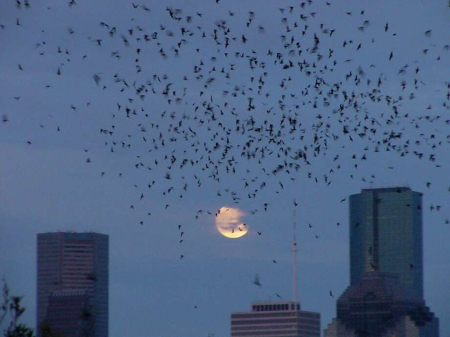 In the days before Harvey, thousands of Mexican free-tailed bats filled the night sky over Buffalo Bayou in Houston. Photo: DIANE HUMES / Texas Parks and Wildlife