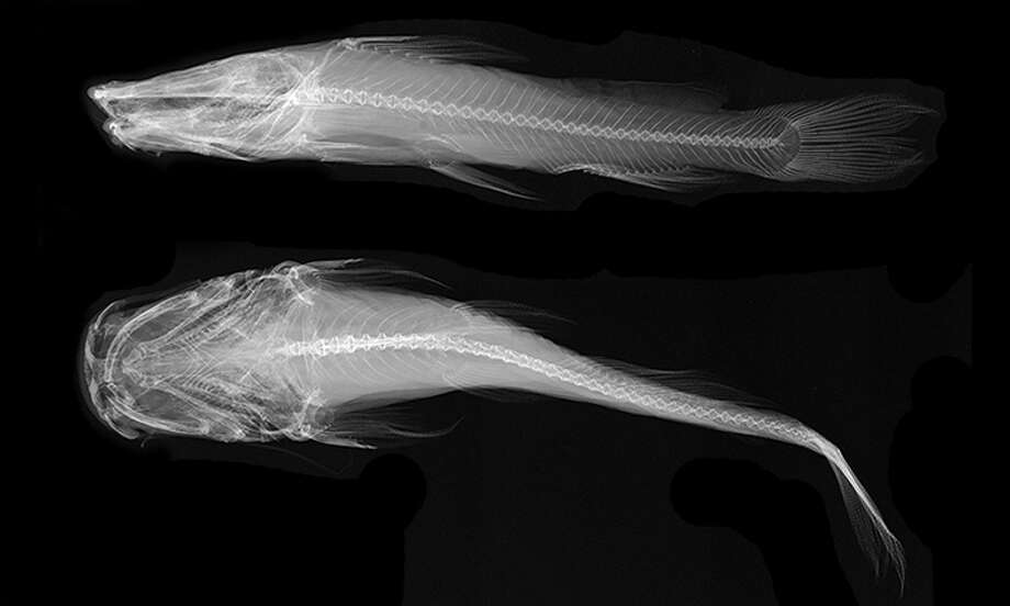X-ray images of a preserved Widemouth Blindcat, a.k.a. Satan fish (Satan eurystomus). Photo: Smithosonian Institution