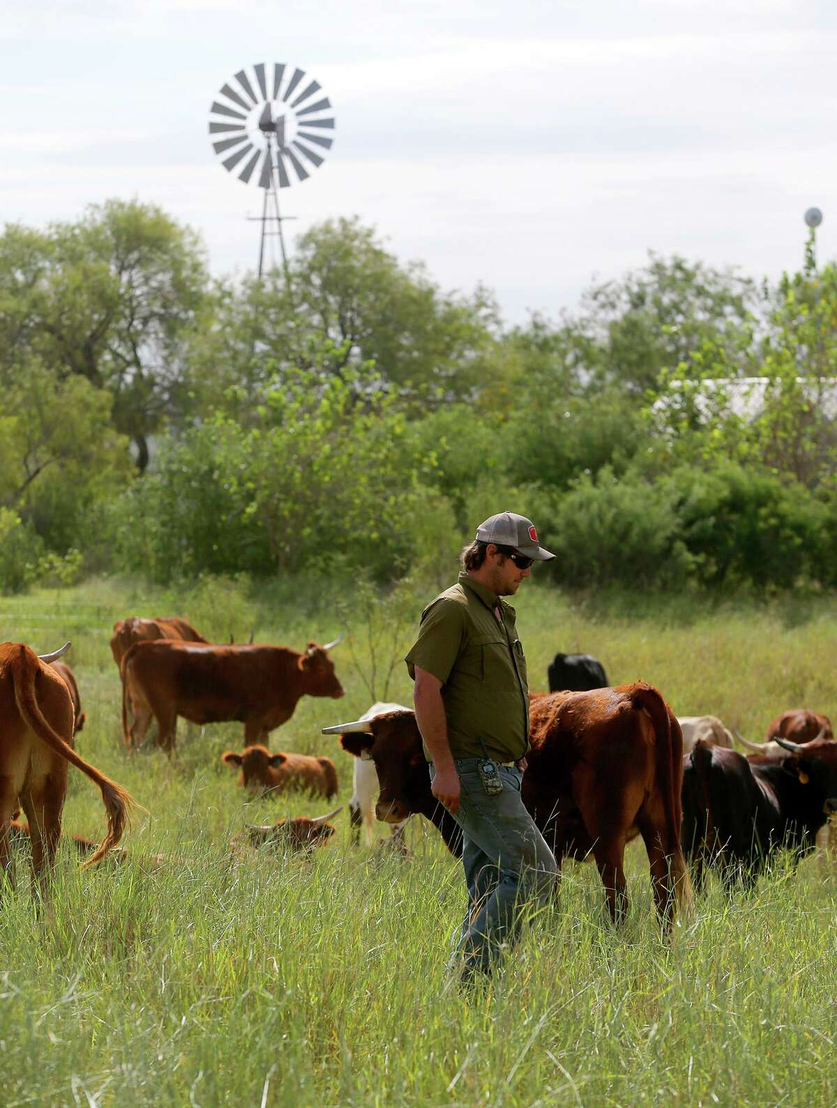 Travis Krause walks past grass fed cattle at the Parker Creek Ranch near D'Hanis. The Krause family specializes in pasture raised chickens for eggs and meat, as well as grass fed beef and pasture raised turkeys.