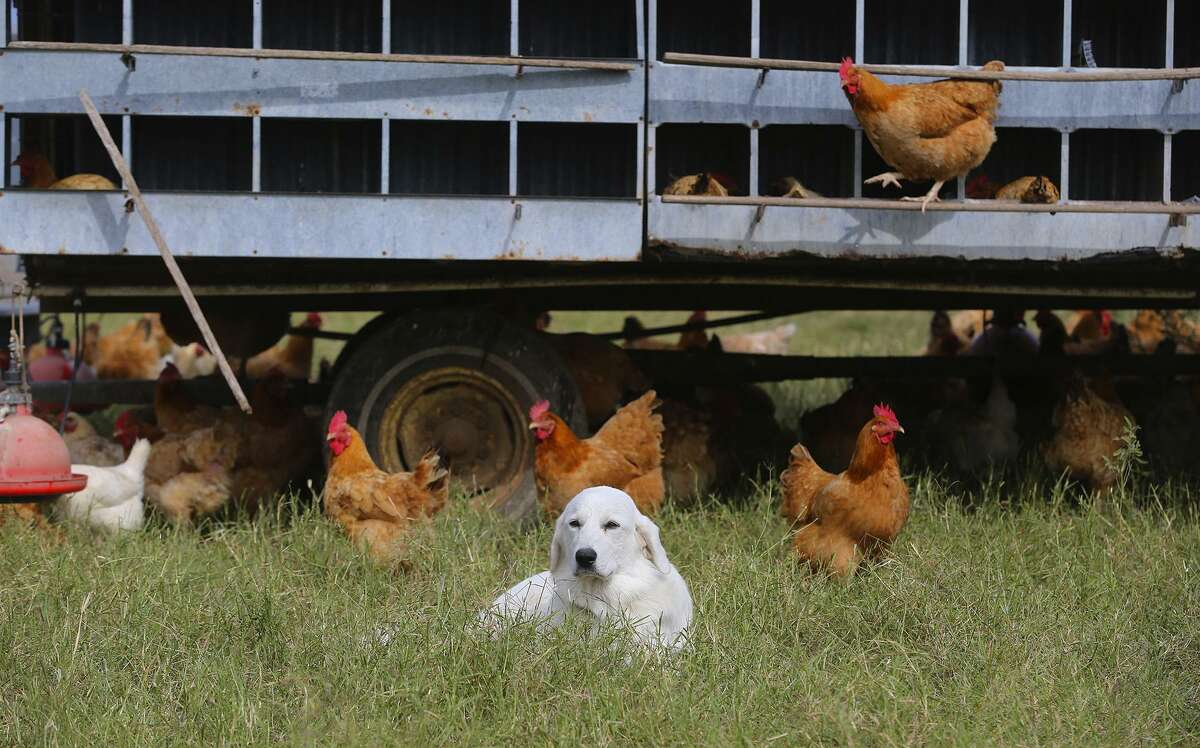Dogs such as Percy stand guard over the chickens at Parker Creek Ranch near D'Hanis. The dogs chase away predators such as coyotes and birds of prey that would otherwise kill chickens in the open pasture lands.