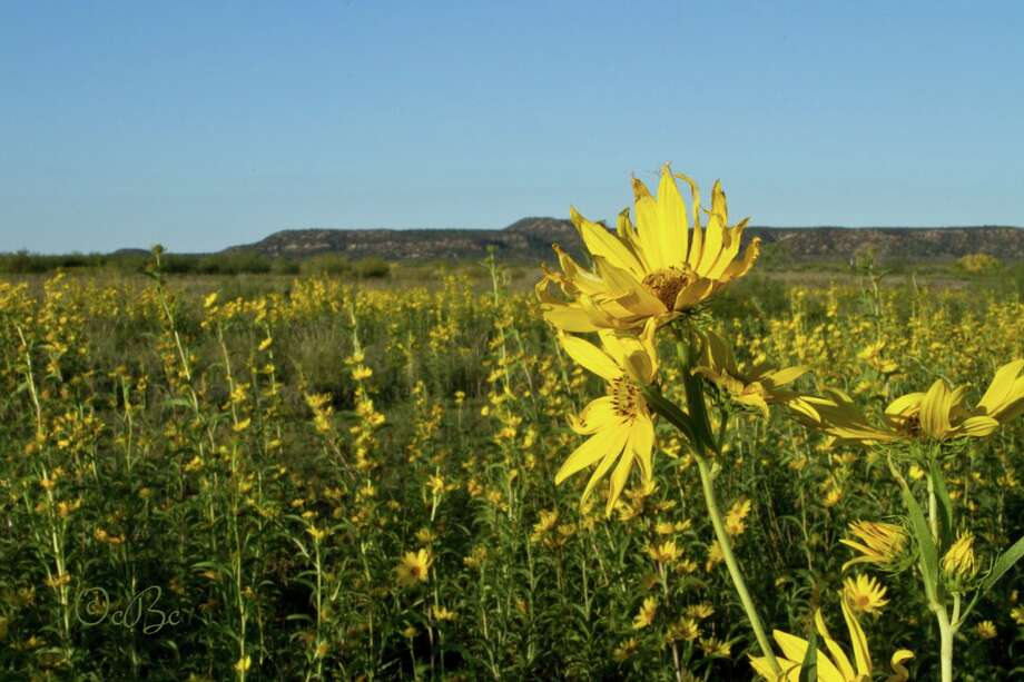 The Maximillian Sunflowers were in full bloom last week at Caprock Canyons State Park, prior to last weekend's freeze.
