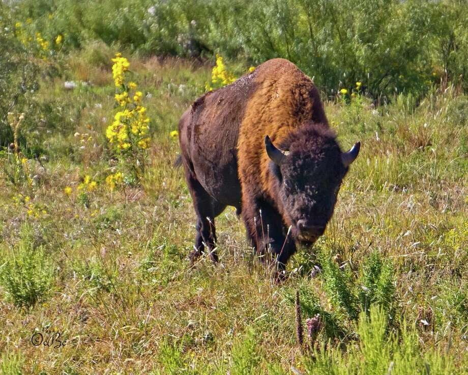 An American Bison, part of the Official Texas Bison Herd in Caprock Canyons State Park, grazed in a meadow filled with Maximillian Sunflowers. The state park is located outside Quitaque in Briscoe County.