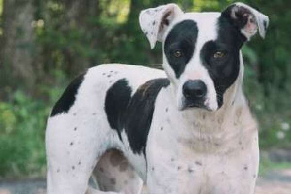 """""""They call me Dawn. I'm a shy girl, but I warm up once I know you. I like to have my chin rubbed and I like to sit while you tell me what a pretty girl I am."""" Dawn is a 5-year-old female terrier / pit bull mix."""