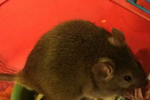 Apollo is a 1-year-old male mouse.  H  e is available for adoption at the Latham PetSmart.