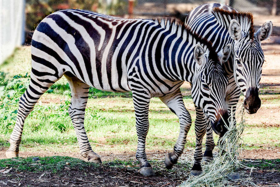 Two male zebras at the Oakland Zoo. Photo: Courtesy Of The Oakland Zoo
