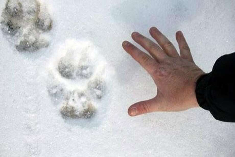 In this Jan. 28, 2012 photo provided by Linda Hay, Tanya Dronoff of Susanville, Calif., spreads her hand next to a wolf print in the snow in eastern Lassen County, Calif.  Dronoff and Hay were driving down a dirt road through newly fallen snow when Hay spotted the tracks, which the California Department of Fish and Game says were probably left by OR-7, the Oregon wolf that has traveled more than 1,000 miles looking for a mate. The Oregon Cattlemen's Association has filed a bill that conservation groups fear would open the way to kill the Imnaha pack in northeastern Oregon, which OR-7 left last September. (AP Photo/Linda Hay) Photo: Linda Hay, Associated Press