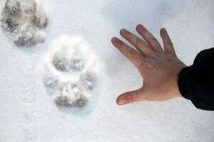 In this Jan. 28, 2012 photo provided by Linda Hay, Tanya Dronoff of Susanville, Calif., spreads her hand next to a wolf print in the snow in eastern Lassen County, Calif.  Dronoff and Hay were driving down a dirt road through newly fallen snow when Hay spotted the tracks, which the California Department of Fish and Game says were probably left by OR-7, the Oregon wolf that has traveled more than 1,000 miles looking for a mate. The Oregon Cattlemen's Association has filed a bill that conservation groups fear would open the way to kill the Imnaha pack in northeastern Oregon, which OR-7 left last September. (AP Photo/Linda Hay)