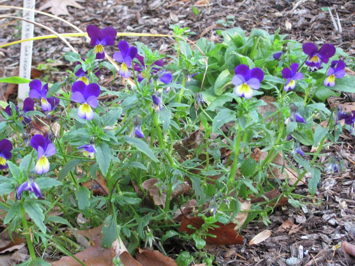 A cluster of Johnny jump-ups brightens the landscape.