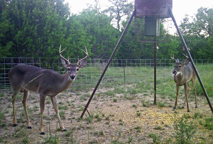 With an abundance of forage including acorns following good rains through most of the year, corn feeders may not draw a lot of deer early in the season, which begins statewide on Saturday.