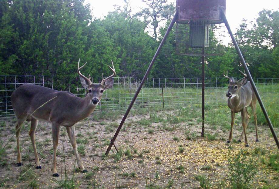 With an abundance of forage including acorns following good rains through most of the year, corn feeders may not draw a lot of deer early in the season, which begins statewide on Saturday. Photo: John Goodspeed / For The Express-News