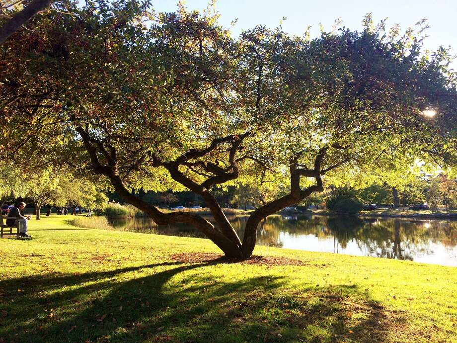 Jan Mrozek won first prize in the Sculptural category of the Greenwich Tree Conservancy's 2014 Awesome Tree Contest for her picture of this tree in Bruce Park. The Conservancy will name winners of this year's contest Sunday. Photo: Contributed Photo / Contributed Photo / Greenwich Time Contributed