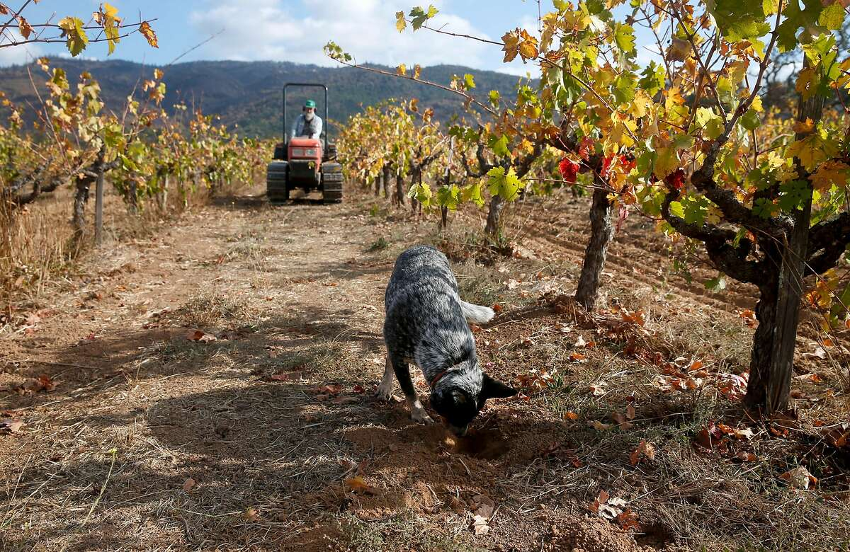 Matilda digs a hole as Will Bucklin works in his Old Hill Ranch vineyard in Glen Ellen, Calif. on Thursday, Nov. 2, 2017. Bucklin only lost a small percentage of the vines in last month's devastating Wine Country fires.