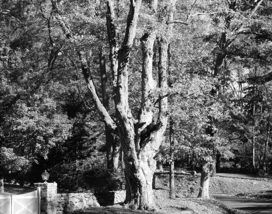 A gnarly oak in New Canaan. Photo: Erin Kayata / Hearst Connecticut Media / New Canaan News