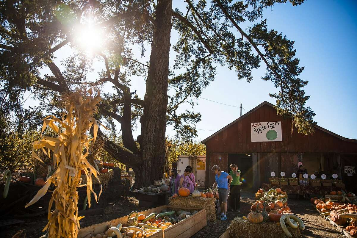 Customers check out the pumpkins and gourds at Hale's Apple Farm in Sebastopol, Calif. Saturday, October 28, 2017.
