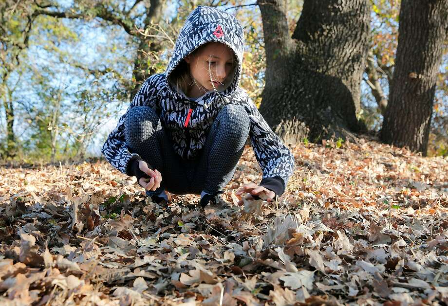 Above: Laila Elkhoury searches through fallen leaves for acorns in Sonoma as part of Shirley Austin- Peeke's sixth-grade science class. Right: Envelopes containing acorns are cataloged. Photo: Michael Macor, The Chronicle