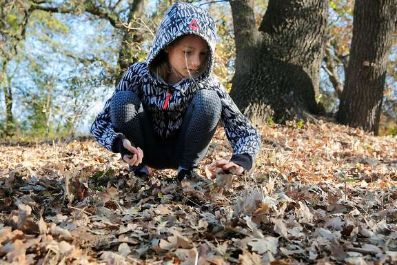 Laila Elkhoury searches through the layers of fallen leaves for acorns. Shirley Austin-Peeke took her 6th grade science class on a trek to Nathanson Creek behind Adele Harrison Middle School in Sonoma, Ca. on Thursday November 2, 2017, to collect acorns and learn about the affect the Sonoma wildfires had on oak trees. The  California Native Plant Society put out a call to the public to collect acorns to supply a reforestation of oak trees destroyed by the massive Napa and Sonoma wildfires .