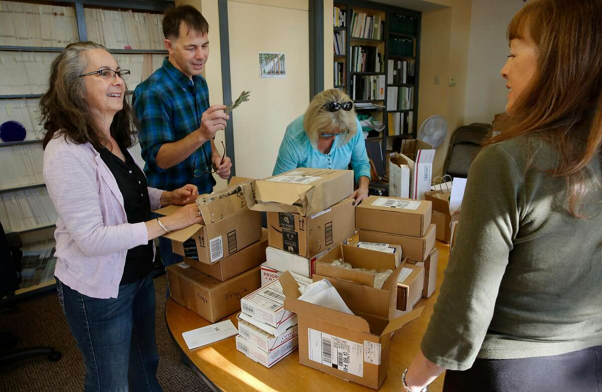 Members of the California Native Plant Society, ( l to r ) Carrie Black, executive director Dan Gluesenkamp, Colene Rauh and Chris Lewis begin the sorting and processing of the first shipment of oak tree acorns to their offices in Sacramento, Ca. on Wednesday November 1, 2017.�The society put out a call to the public to collect acorns to supply a reforestation of oak trees destroyed by the massive Napa and Sonoma County wildfires.