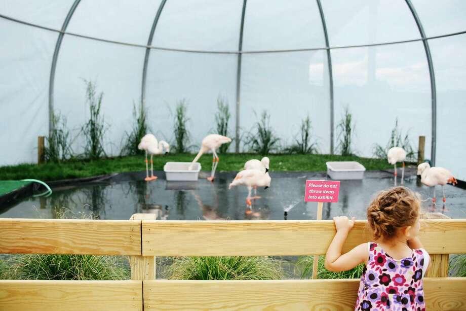 Sophia Yordanov, 3, looks at the Chilean flamingos on exhibit at The Maritime Aquarium at Norwalk on Saturday, May 27. Photo: Danielle Robinson Calloway / For Hearst Connecticut Media / Connecticut Post Freelance