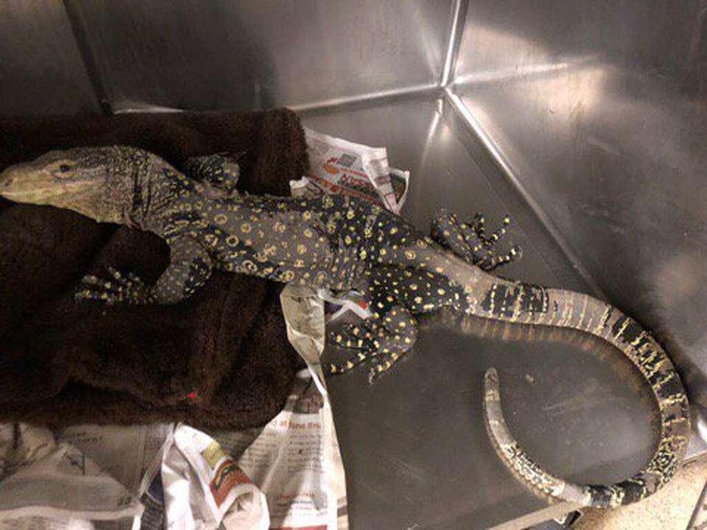 massive lizard from new guinea found in california backyard sfgate