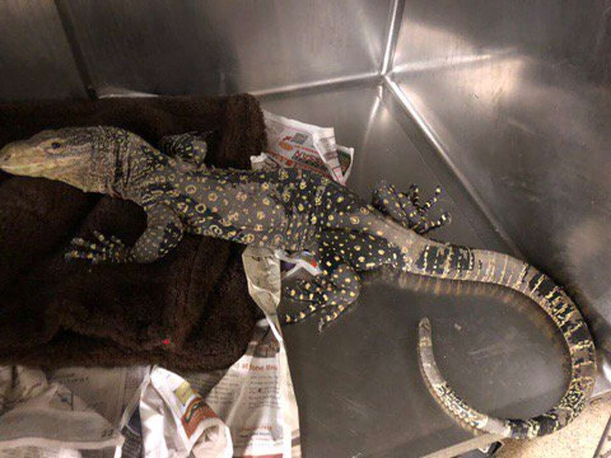 Chopper, a crocodile monitor lizard, escaped from his owner and was found in a family's backyard in Riverside.
