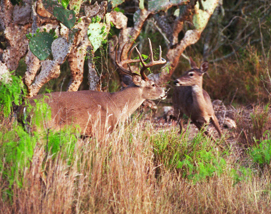 In 2018, the general hunting season for white-tail deer season might for the first time in 17 years have uniform opening and closing dates that apply statewide, ending what has been a set of deer-season dates that have given South Texas hunters two weeks longer in the field. Photo: Shannon Tompkins