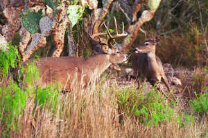 In 2018, the general hunting season for white-tail deer season might for the first time in 17 years have uniform opening and closing dates that apply statewide, ending what has been a set of deer-season dates that have given South Texas hunters two weeks longer in the field.