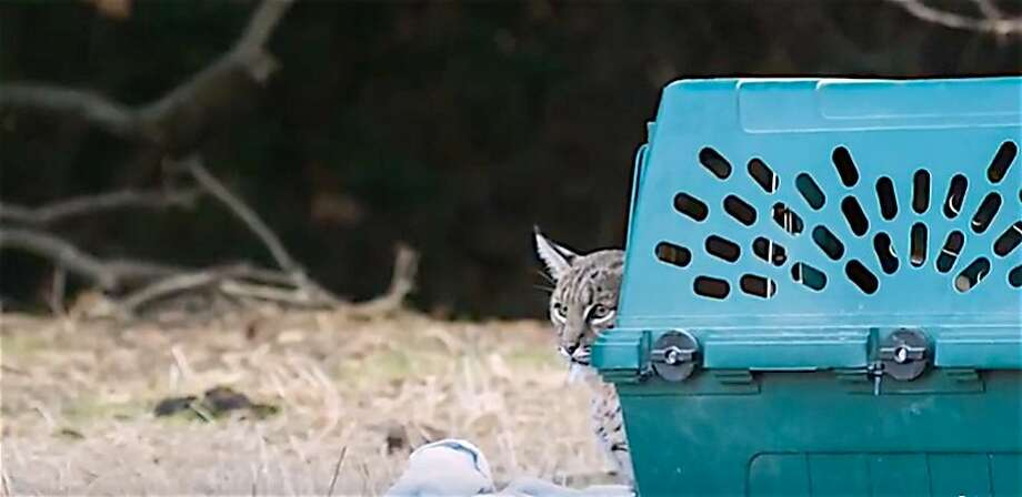 This bobcat was rescued near death after being hit by a car last summer and was x-rayed and diagnosed with a pelvis broken in three places. After a rehab at a wildlife care facility in Walnut Creek, the bobcat was released healthy Friday back into the wild. Photo: Tom Stienstra, Courtesy Lindsey Wildlife Museum