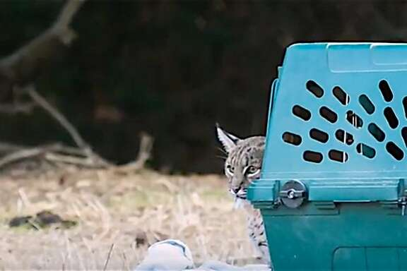 This bobcat was rescued near death after being hit by a car last summer and was x-rayed and diagnosed with a pelvis broken in three places. After a rehab at a wildlife care facility in Walnut Creek, the bobcat was released healthy Friday back into the wild.