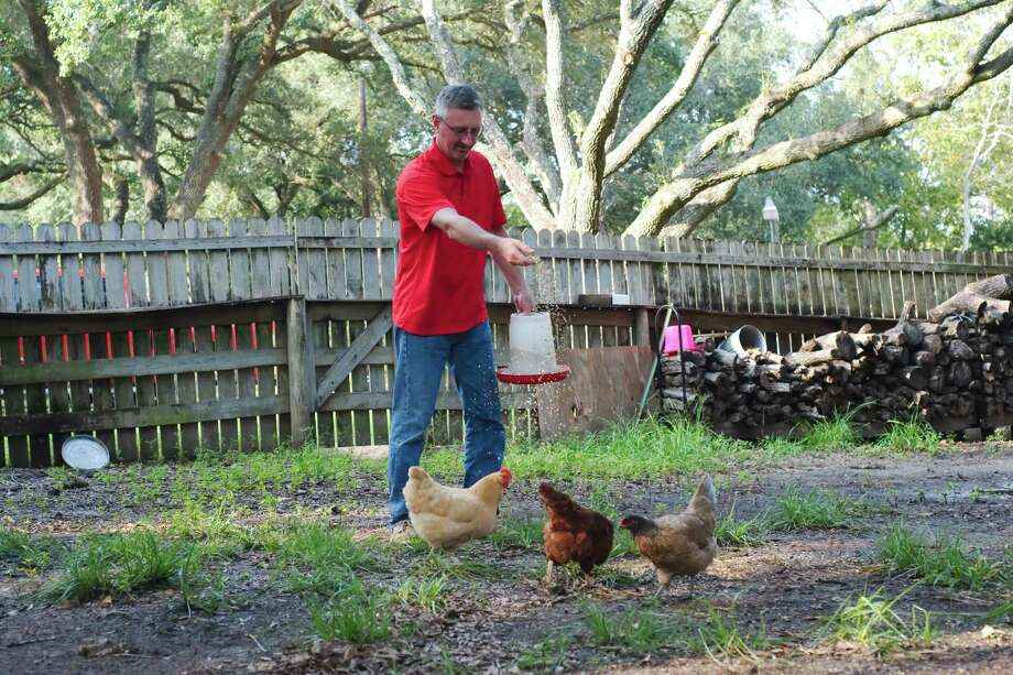 Jack Callaway feeds chickens outside his home on two acres on County Road 127.  He's worried about what changes might come if the city of Pearland annexes his property. Pearland is considering acquiring five parcels before a new state law goes into effect that would require that affected residents vote on the prospect through a referendum. Photo: Kirk Sides / © 2017 Kirk Sides / Houston Chronicle