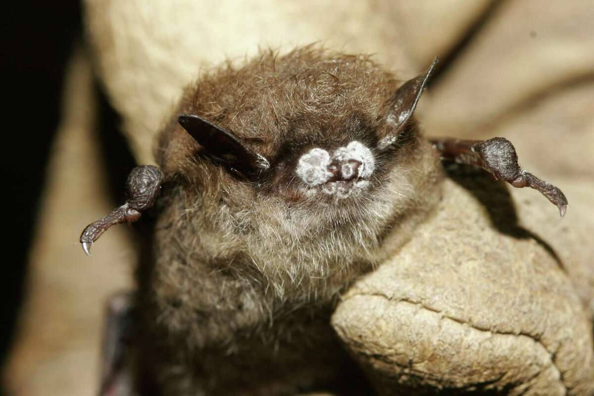 This 2008 photo shows a little brown bat suffering from white-nose syndrome, with the signature frosting of fungus on its nose.