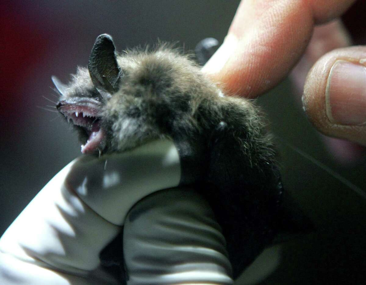 Nancy Heaslip of the Department of Environmental Conservation inserts a radio transmitter into a little brown bat in an abandoned mine in Rosendale, N.Y. White-nose syndrome began about a decade ago in New York state and has since spread to 30 other states in the U.S. and parts of Canada.