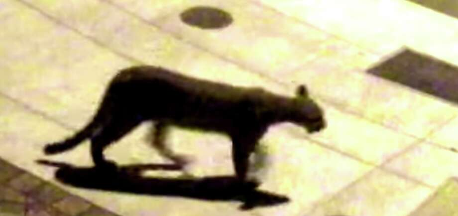 A mountain lion is seen in this video provided byMarc Benioff, November 4, 2017. Photo: Screenshot/Video Courtesy Marc Benioff