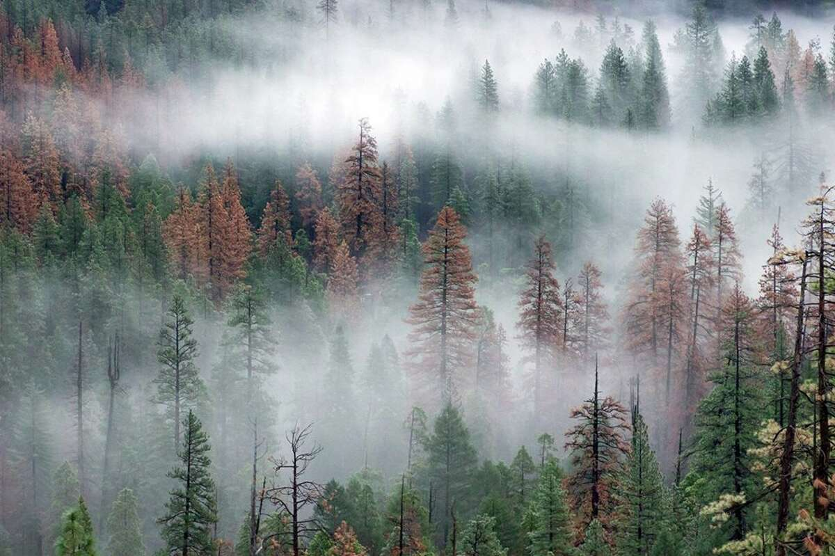 A stand of trees in Yosemite affected by bark beetles.