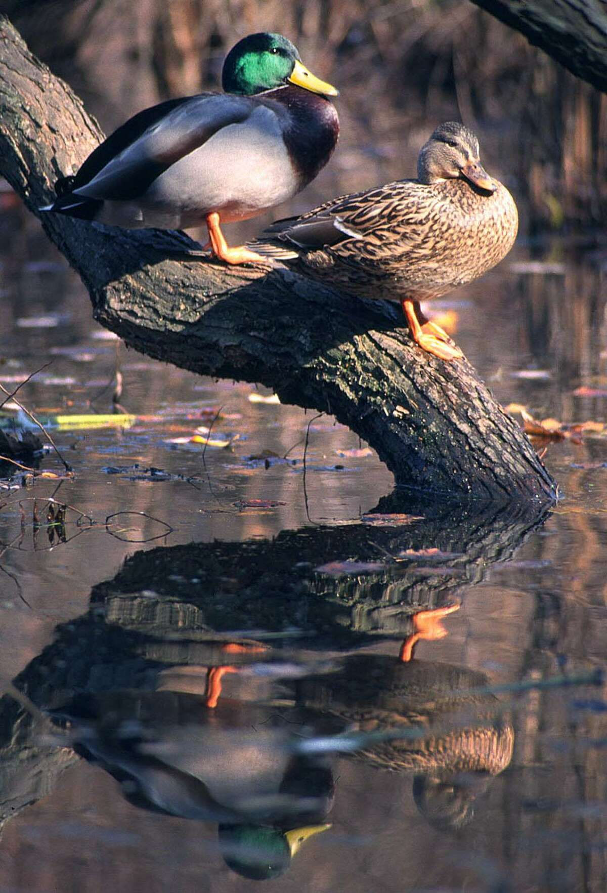 A mallard pair rests on the base of a tree jutting out of a pond in New England.