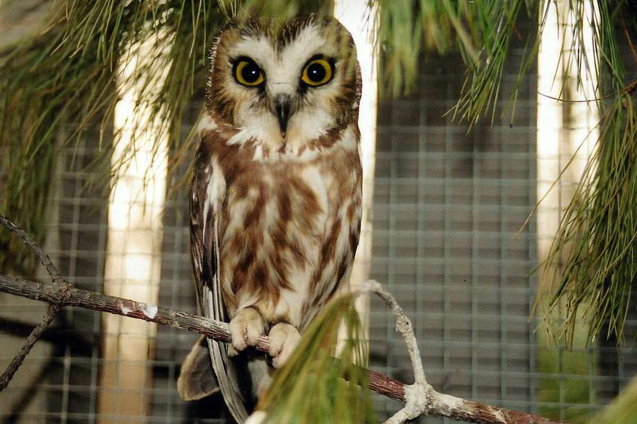 At Birdie Bash 2017 in Middletown, bird lovers can shop, mingle, learn from experts and meet companion and wild birds like this northern saw-whet owl. Photo: Photo Courtesy Of The Parrot Club