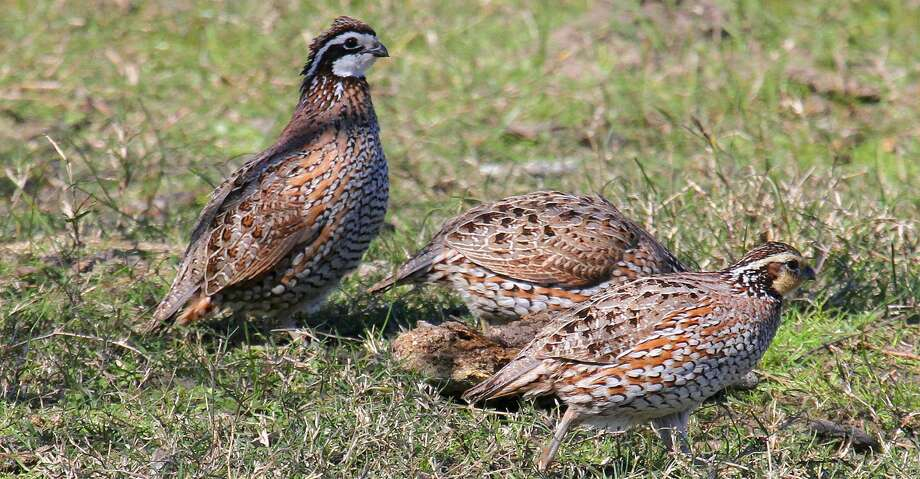 Bobwhite quail on Texas' coastal prairies have struggled over the past few years, with the ground-nesting birds suffering significantly from flooding in 2015, 2016 and Hurricane Harvey's record-setting flooding this year. Photo: Shannon Tompkins/Houston Chronicle