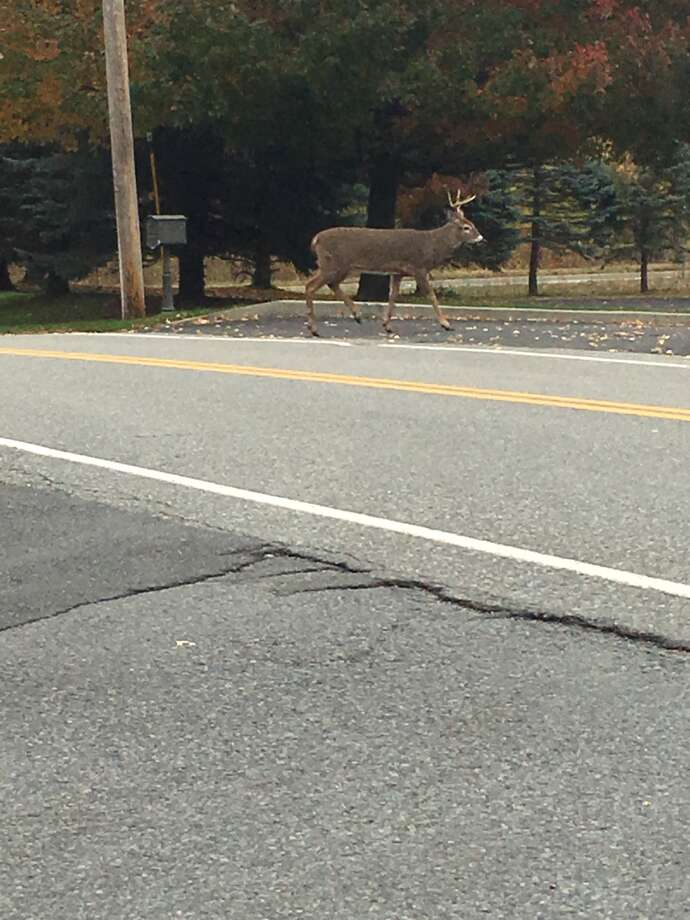 Click through the slideshow for more wild animal sightings in the Capital Region.A deer spotted crossing Maxwell Road across from the Times Union on Tuesday, November 7, 2017. Photo: Sarah Diodato