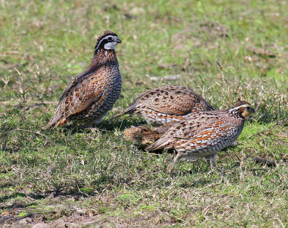 Bobwhite quail on Texas' coastal prairies have struggled over the past few years, with the ground-nesting birds suffering significantly from flooding in 2015, 2016 and Hurricane Harvey's record-setting flooding this year. Photo: Shannon Tompkins / Houston Chronicle
