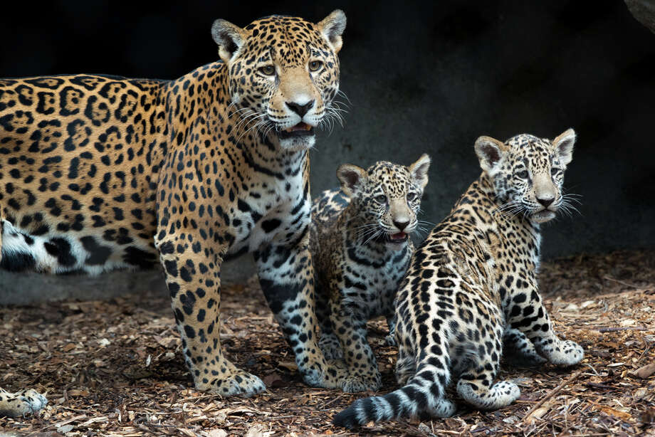 The Houston Zoo's four-month-old jaguar cubs, Fitz and Emma, made their debut on Wednesday, Nov. 9, 2017. The pair were born to parents Maya and Tesoro on July 20 and have spent their time bonding with their mother. They are the first jaguars born at the Houston Zoo in 12 years. Photo: Stephanie Adams/Houston Zoo