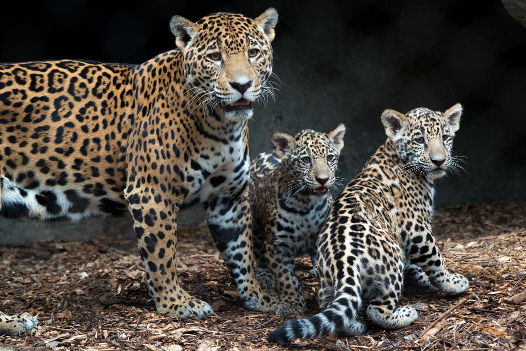 Houston Zoo Showing Off Adorable Jaguar Cubs San Antonio