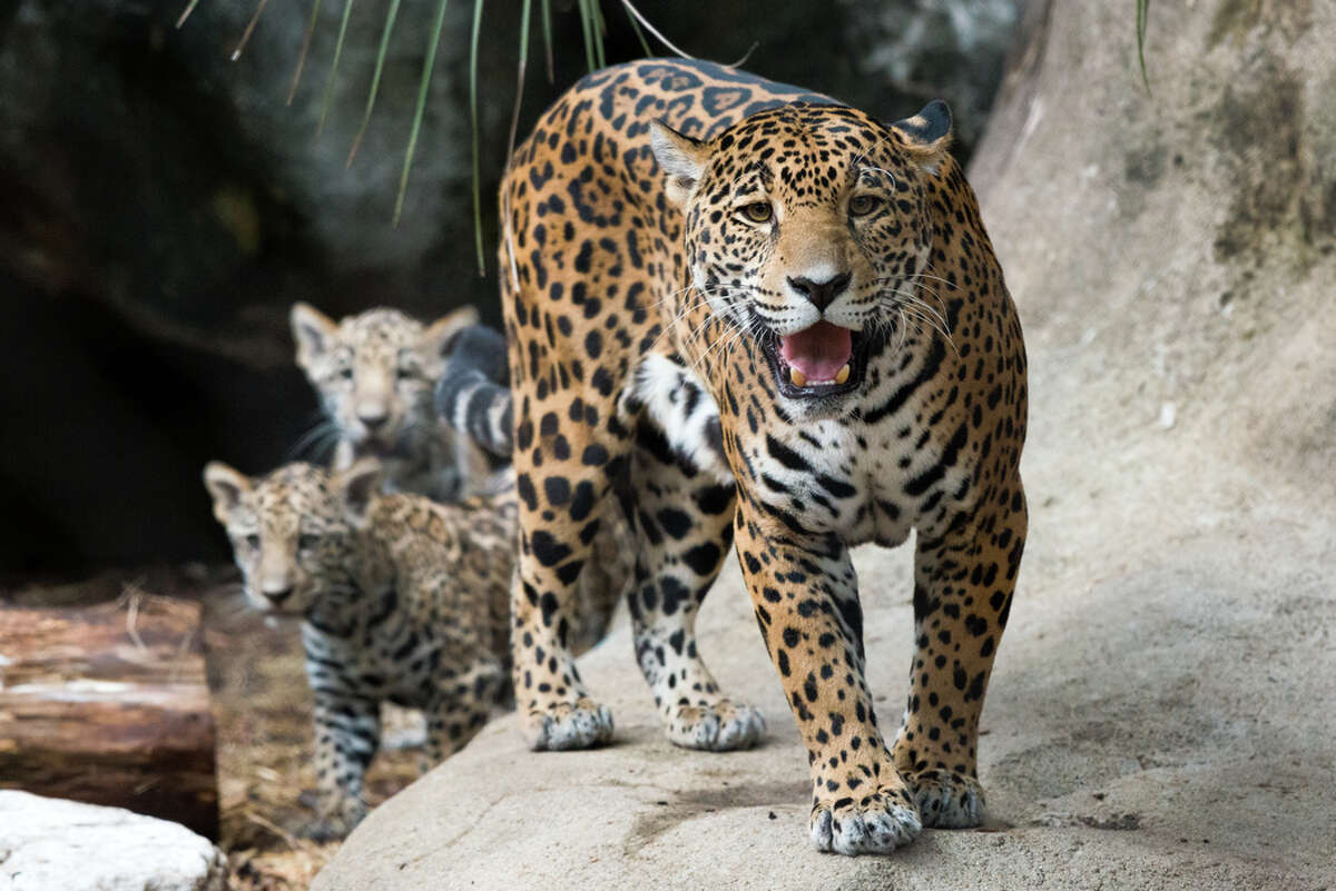 The Houston Zoo's four-month-old jaguar cubs, Fitz and Emma, made their debut on Wednesday, Nov. 9, 2017. The pair were born to parents Maya and Tesoro on July 20 and have spent their time bonding with their mother. They are the first jaguars born at the Houston Zoo in 12 years.