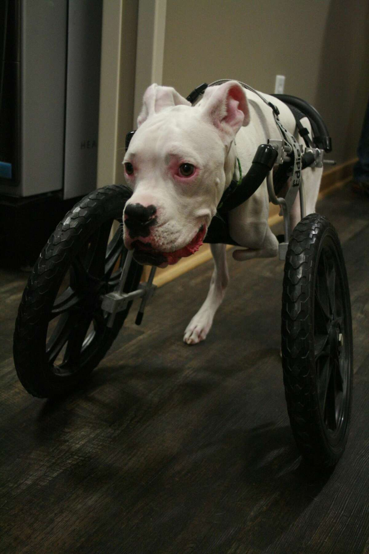 Nubby, a white boxer pup, was born without front legs due to a congenital defect. He is learning to walk with the use of prosthetic wheels.