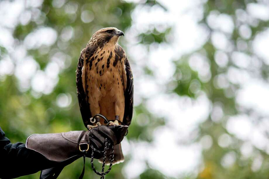 Guapo, a Swainson's hawk, perches on the gloved hand of Kit Lacy, education director at Cascades Raptor Center. Photo: Photo By Amanda Lucier For The Washington Post. / For The Washington Post