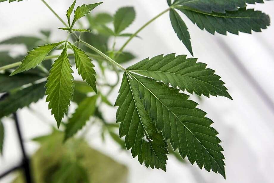 A marijuana plant growing at a cultivation business in San Bernardino County. Photo: Irfan Khan, TNS