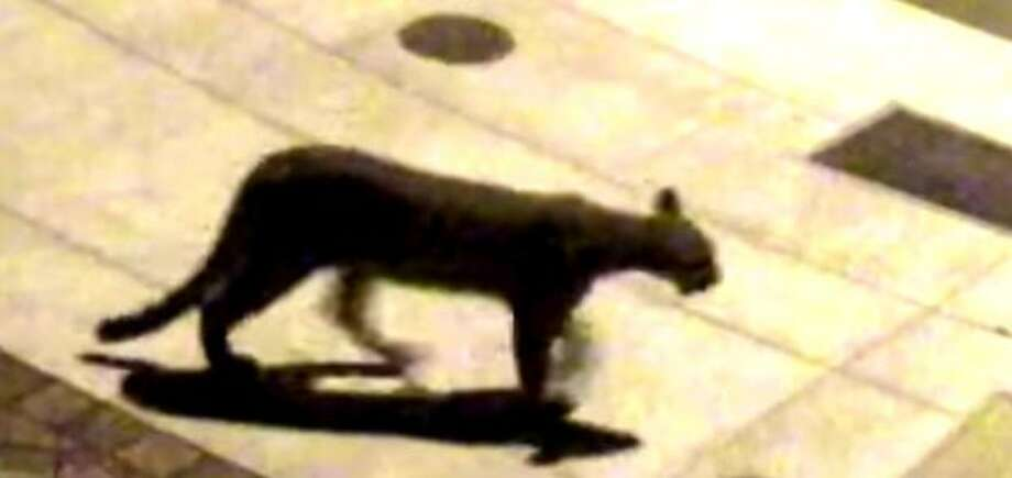 Salesforce CEO Marc Benioff's security footage of a mountain lion outside his Presidio Heights home Saturday. One was also seen early Wednesday. Photo: Courtesy Marc Benioff
